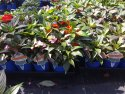 Impatiens Sonic Patio Jewel 125mm PATJEWSONIMP125