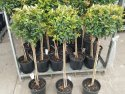 Syzygium australe (Brush Cherry) 200mm Standard SYZAUS200S