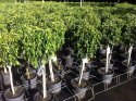 Ficus Midnight Beauty 250mm Standard FICMIDBEA250S