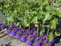 Ficus carica 'Yellow Excel' (Fig) 200mm FICCARYELEXC200
