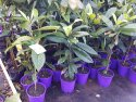 Loquat Mixed 200mm LOQMIX200