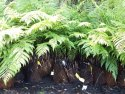 Dicksonia antarctica Size 1 (Australian Soft Fern Tree) Up to 30cm DICANT1