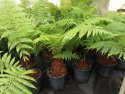 Dicksonia antarctica (Australian Soft Fern Tree) 250mm DICANT250