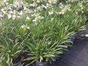 Agapanthus Silver Baby 175mm AGASIL175